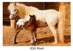 pohled klasik foto : archiv Zoologické zahrady Appalosa