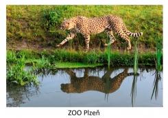 pohled klasik foto : archiv Zoologické zahrady Gepard