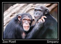 magnetka foto : archiv Zoologické zahrady Šimpanz