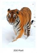 pohled klasik foto : archiv Zoologické zahrady Tygr
