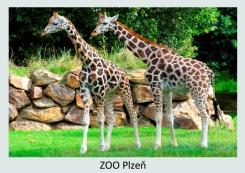 pohled klasik foto : archiv Zoologické zahrady Žirafa Rothschildova