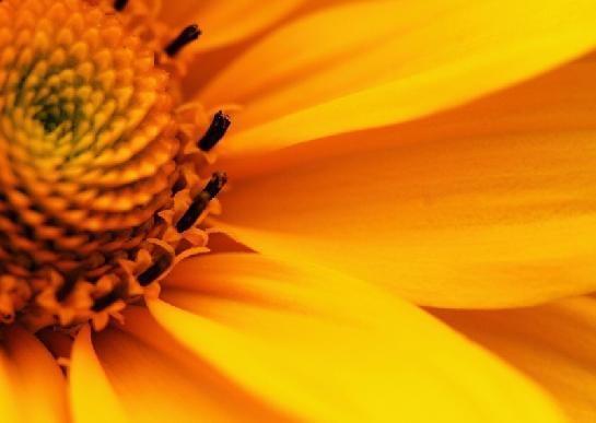 Květ rudbekie