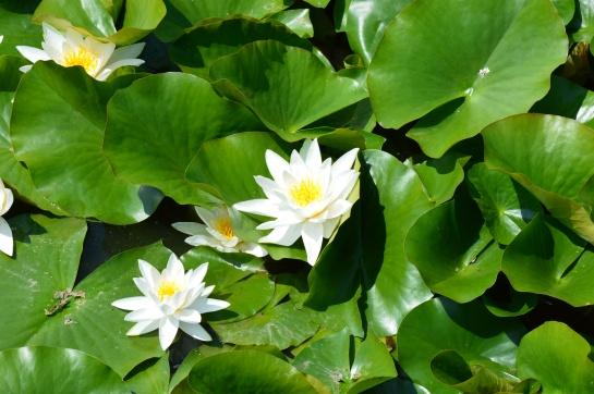 Krása Lotosu