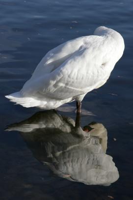 Labutí zrcadlení