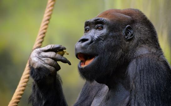 Gorila nižinná