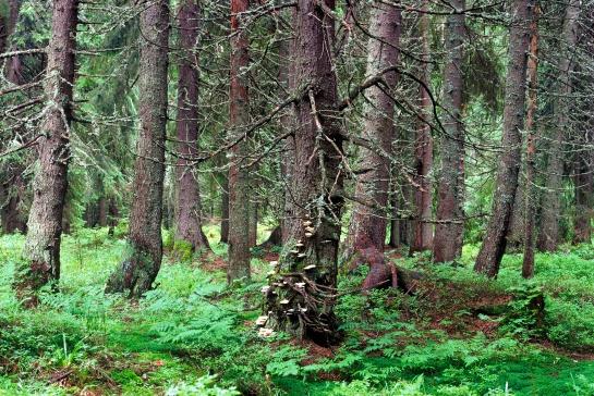Vysoké Tatry, les v Mengusovské dolině