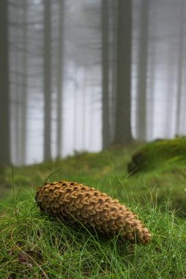 Šiška ve smrkovém lese