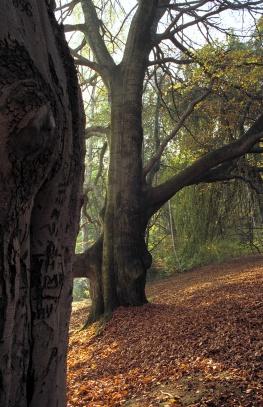 Strom na Červeném Hrádku