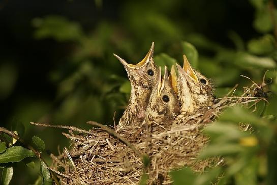 Drozdi v hnízdě