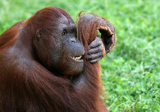 Orangutan bornejský II